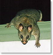 Rapid Roof Repairs licensed with NPWS in capture and removal of our native possums and uses a humane trapping system